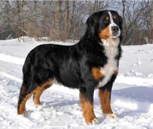 Фото, описание собак породы Бернский Зенненхунд, характеристика для домашнего разведения и содержания.