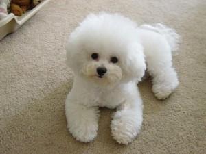 Фото, описание собак породы Бишон-Фризе, характеристика для домашнего разведения и содержания.