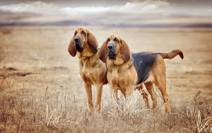 Собаки породы бладхаунд, описание, характеристика и фото.