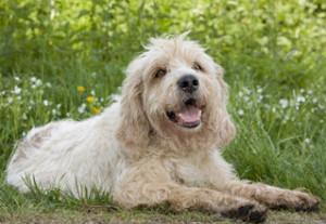 Опис породи собак брикет, історія походження, характеристики і фото.