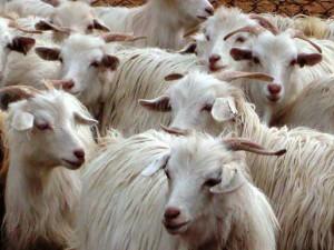 Описание породы коз чантогани, характеристика, разведение и фото.