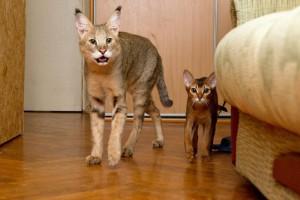 Фото, описание кошек породы Чаузи, характеристика для домашнего разведения и содержания.