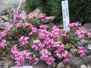 Фото, описание растения Дафна обыкновенная, выращивание в домашних условиях.