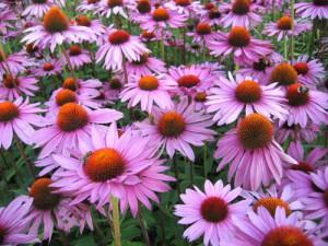 Посадка, вирощування і догляд пурпурової ехінацеї, опис і фото.