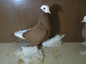 Фото, описание голубей породы армавирские бойные голуби, характеристика для домашнего разведения и содержания.