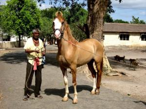 Фото, описание лошадей породы Катхиавари, характеристика индийской лошади.