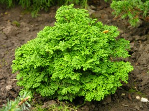 Уход за кипарисовиками в открытой почве, посадка, выращивание и фото.
