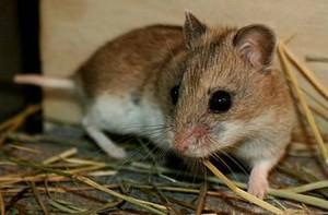 Фото, описание крысовидного хомячка, характеристика породы.