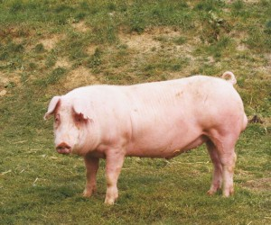 Фото, описание свиней породы Ландрас, характеристика для домашнего разведения и содержания.