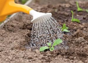 Как часто поливать капусту в открытом грунте, советы, описание и фото.