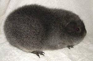 Опис, фото морської свинки породи Рекс, характеристика для домашнього розведення і утримання.