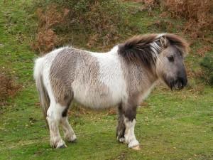 Фото, описание пони породы Шетлендская, характеристика для домашнего разведения и содержания.