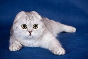 Фото, описание шотландской кошки породы Скоттиш-Фолд, характеристика для домашнего разведения и содержания.