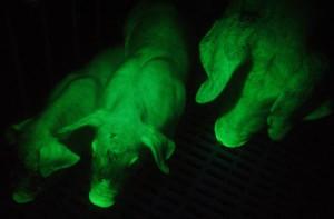 Описание породы зеленых тайваньских свиней, что светятся, разведение, содержание и фото.