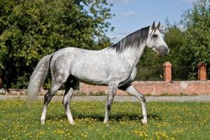 Фото, описание лошадей породы Терская, характеристика для домашнего разведения и содержания.