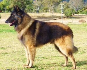 Фото, описание собак породы Бельгийский тервюрен, характеристика для домашнего разведения и содержания.