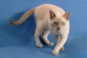 Фото, описание кошек породы Тонкинская, характеристика для домашнего содержания.