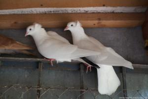 Фото, описание голубей породы Австралийский турман, характеристика для домашнего разведения и содержания.