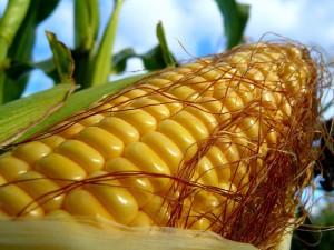 Технология уборки кукурузы на зерно, жатка, описание и фото.