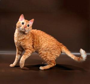 Фото, описание кошек породы Уральский рекс, характеристика для домашнего разведения и содержания.
