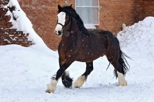Фото, описание лошадей породы Владимирский тяжеловоз, характеристика для домашнего разведения и содержания.