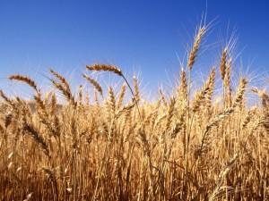Способи удобрення ярої пшениці, опис системи, фото.