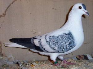 Опис породи південно-німецький желтозобих голубів, характеристика і фото