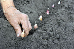 Фото, описание технологии посадки и выращивания чеснока в открытом грунте.