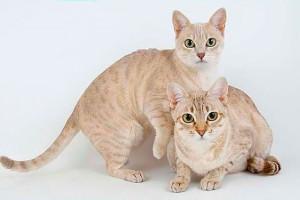 Опис породи австралійських димчастих кішок або австралійських міст, характеристика, зміст та фото.