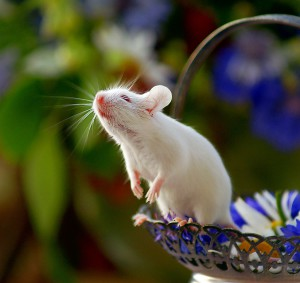 Description white mice, characteristic, content, food and photos
