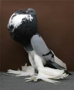 Описание породы голубей эльстерские дутыши, характеристика, содержание и фото