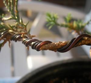 Формування кори бонсай в домашніх умовах за допомогою дроту, поради, опис і фото.