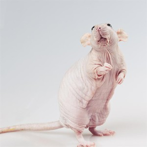 Description naked (hairless) rats, the characteristics, the content and photos