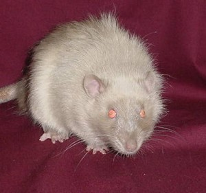 Satin, breed description rats, characterization, breeding, and photos
