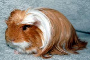 Опис морських свинок лункарія-коронет, домашнє розведення, характеристика та фото.