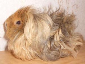 Опис породи морських свинок лункарія-перуанська, характеристика, домашнє утримання та фото.