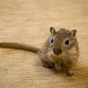 Описание мышек-песчанок, характеристика, содержание, уход за песчанками, фото.