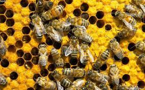 Советы по обращению с пчелами, описание и фото.
