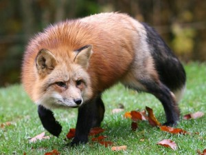 Чисельність виду звичайної лисиці, популяція, розмноження, харчування, основна характеристика та фото.
