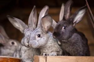 Потребность кроликов в энергетических жирах, добавка жиров в питание, описание и фото.