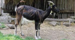 Описание породы пуатусских коз, характеристика, содержание и фото.