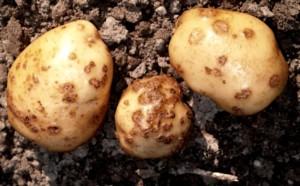 Pathogens potato cancer treatment methods, description and a photo