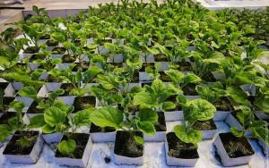 Вирощування розсади арбузов в домашніх умовах, поради, опис і фото.