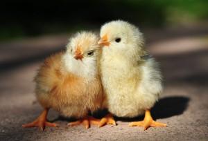 Догляд за курчатами, годування, вирощування в домашніх умовах з перших днів, опис і фото.