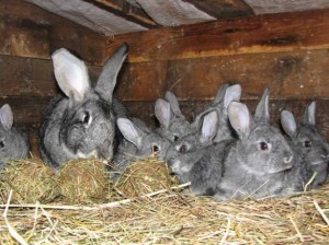 Nutrients and bioactive substances for rabbits, nutritional supplements, description and a photo