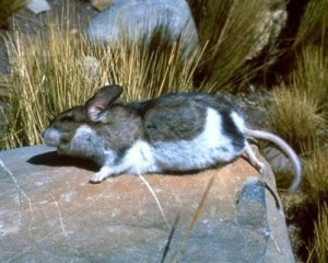 Vulkanovaya mouse, description, characterization of the breed, and photo content