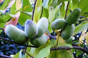 Вирощування азіміни у відкритому грунті в домашніх умовах, опис, поради і фото.