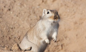 Description gerbils pearls, characteristic, content and photos