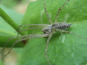 Описание пауков породы Агелениды, характеристика, фото.