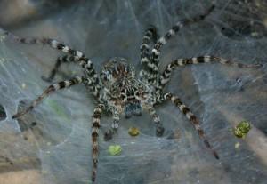 Павуки арахниди, характеристика, описан і фото